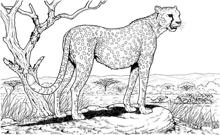 Раскраска гепард наблюдает