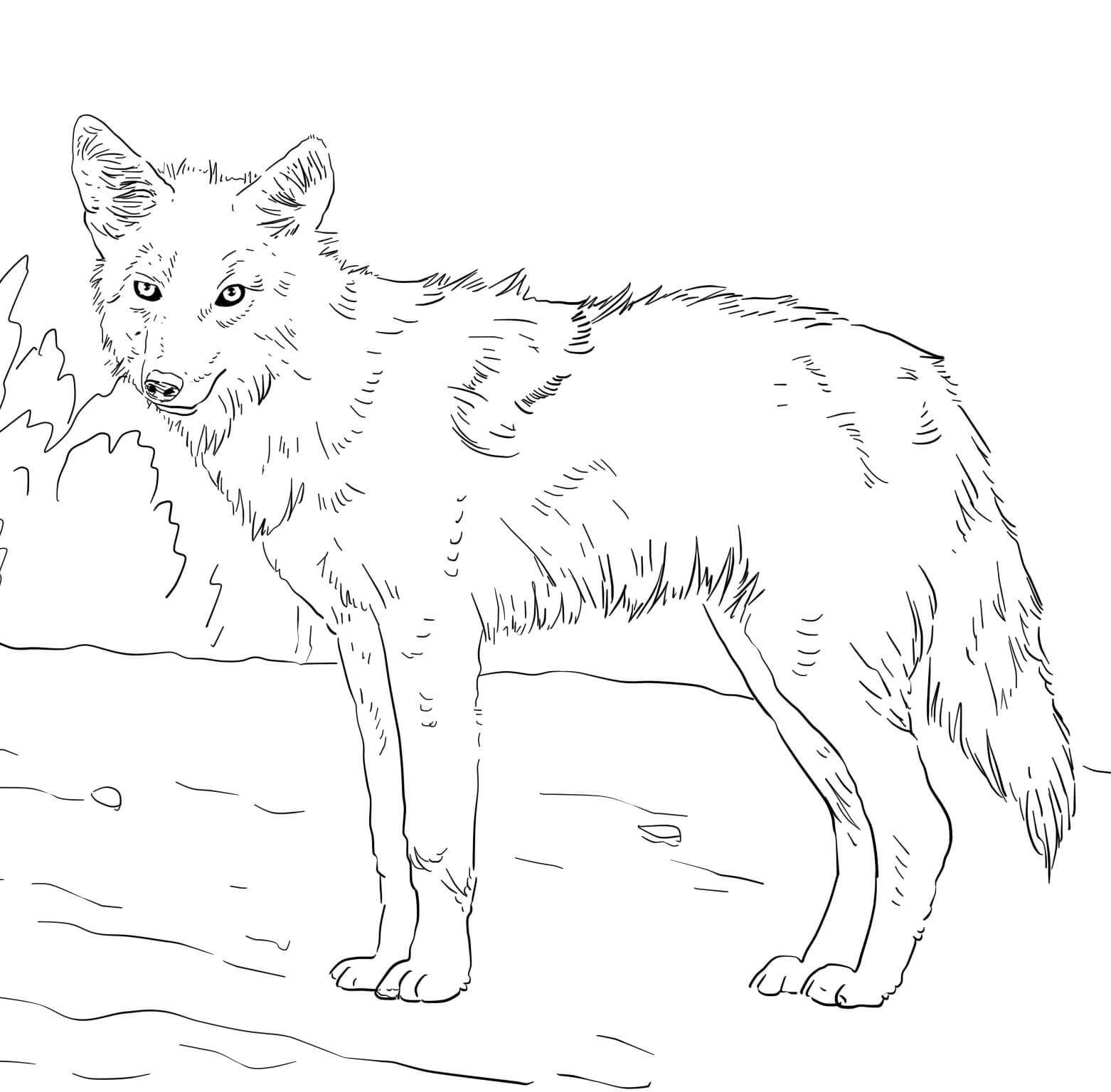 Раскраска Американский койот