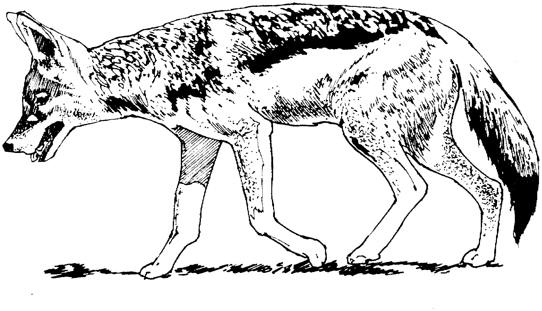 Раскраска реалистичный койот