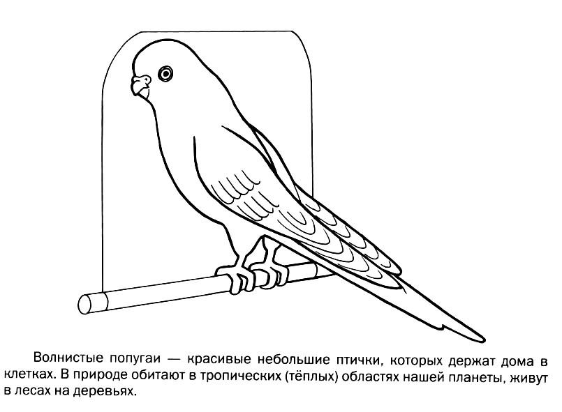 Раскраска волнистый попугайчик