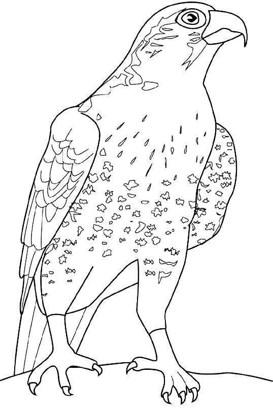 Раскраска птица сапсан