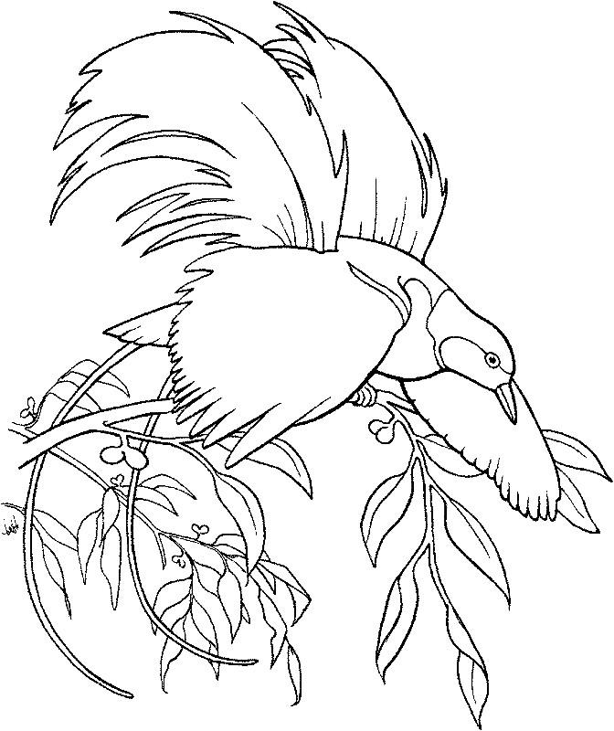 Раскраска райская птица