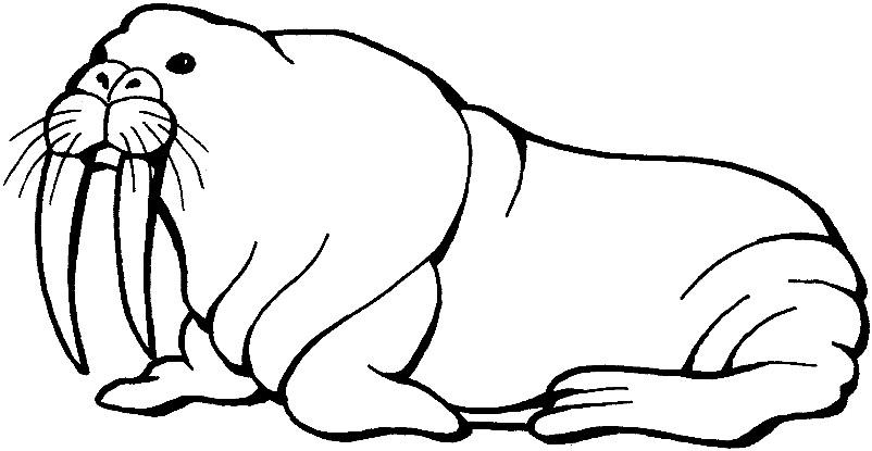 Раскраска морж