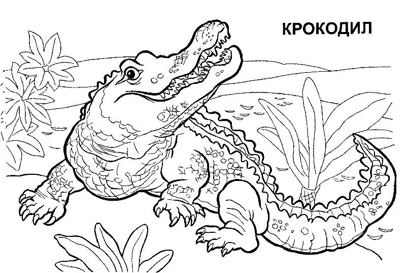 Раскраска Нильский крокодил