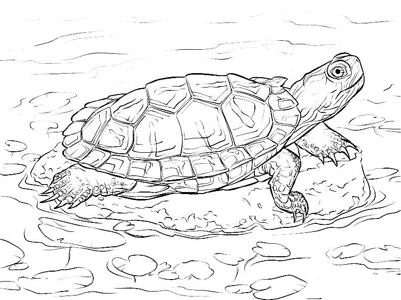 Раскраска Красноухая пресноводная черепаха