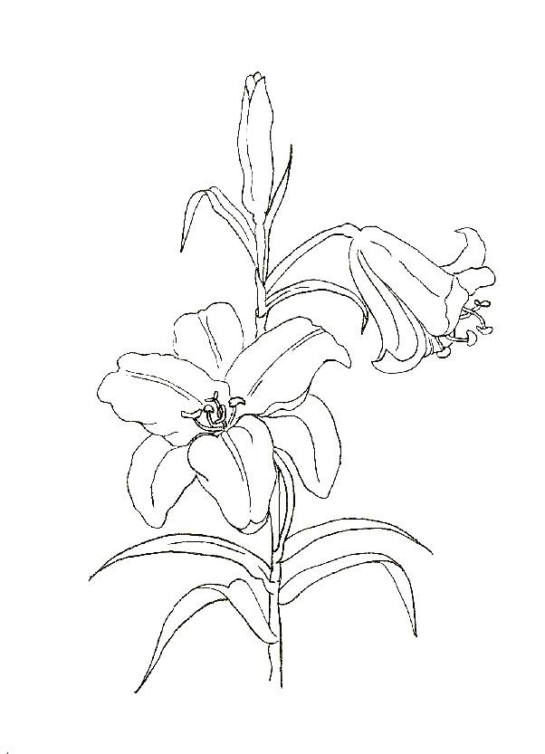Раскраска лилия