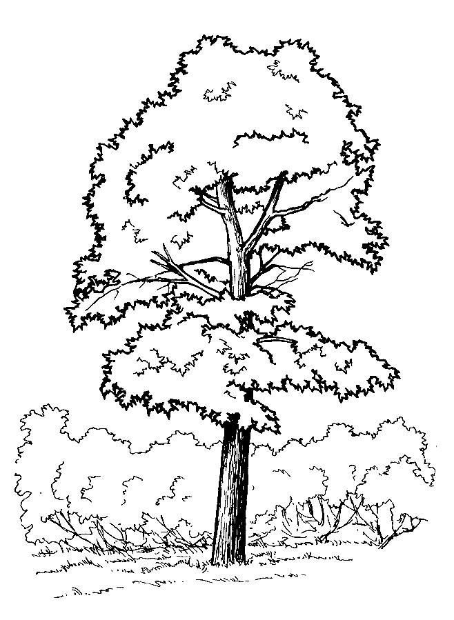 Раскраска дерево клен