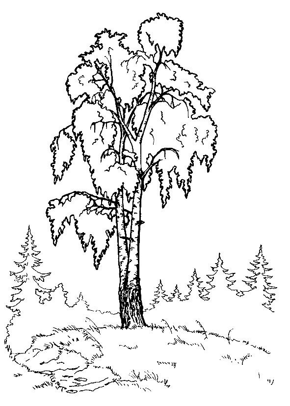 Раскраска дерево береза