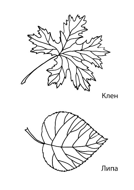 Картинки раскраски листья липы