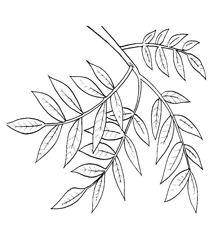 Раскраска листья ивы