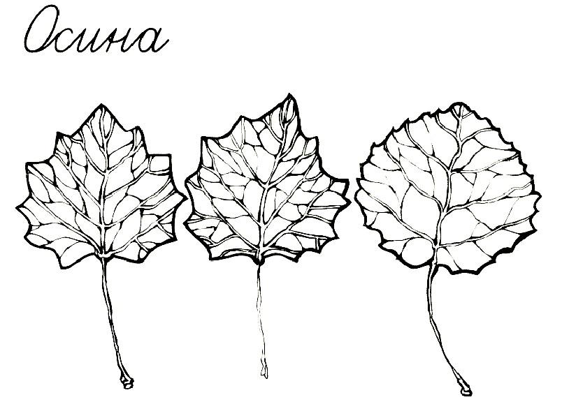Раскраска осиновые листья