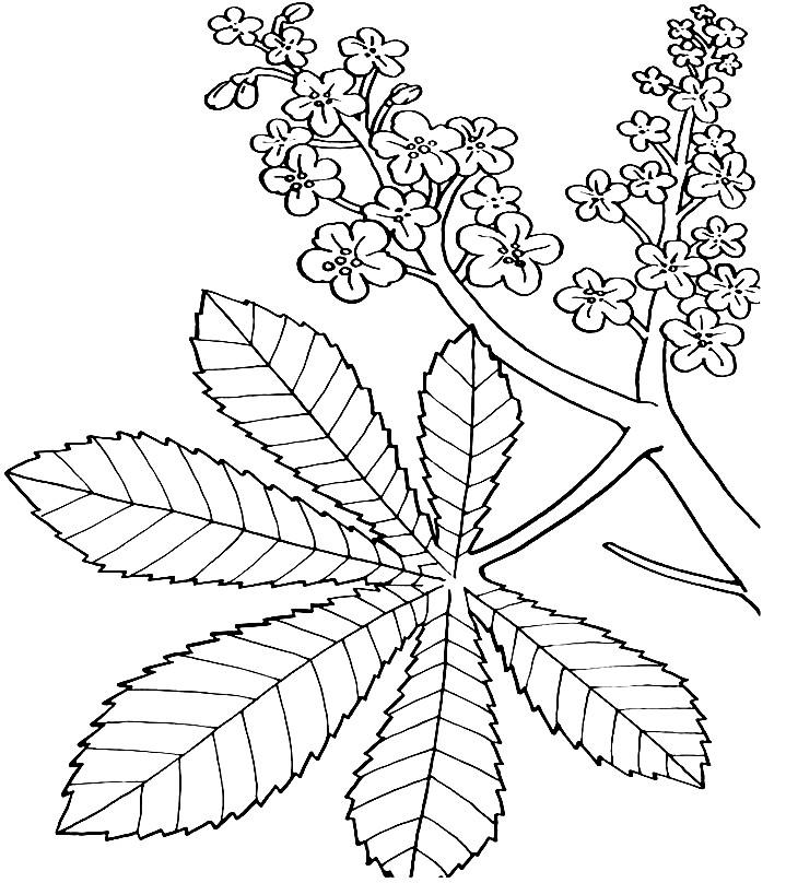 Раскраска веточка каштана с листьями