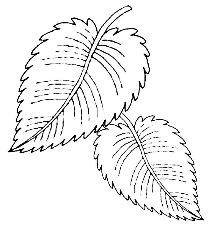 Раскраска листья вяза