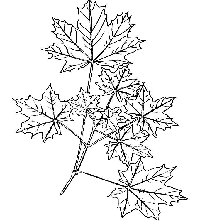 Раскраска кленовые листья