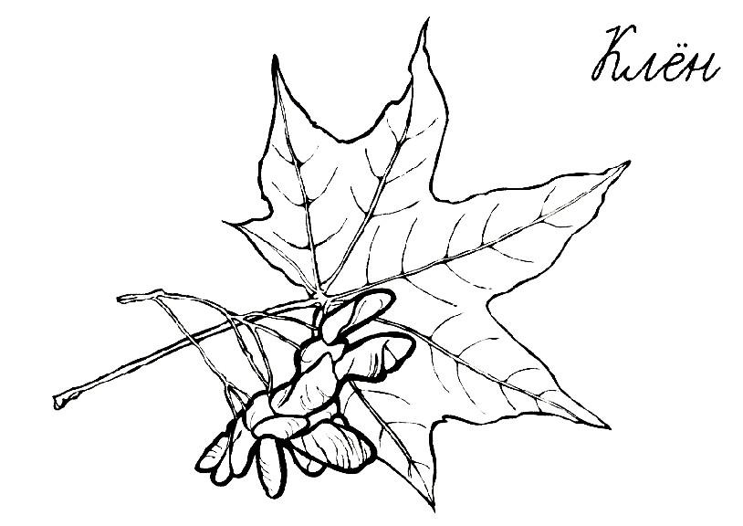 Раскраска лист клена осенью