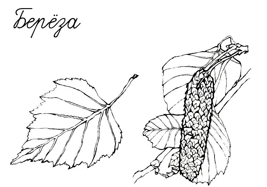 Раскраска березовый лист с сережками