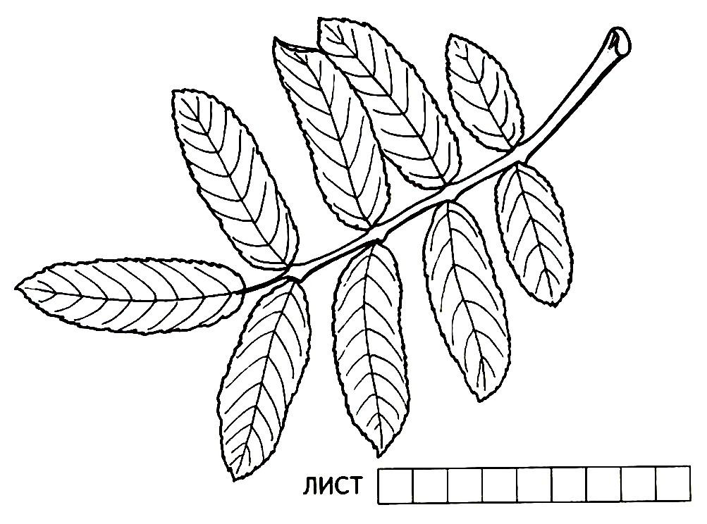 Раскраска рябиновый лист