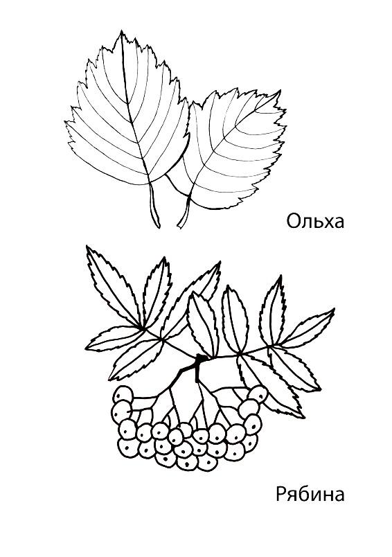 Раскраска листья ольхи и рябины