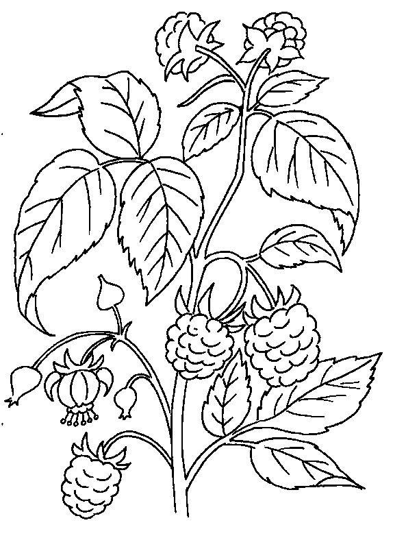 Раскраска спелая малина