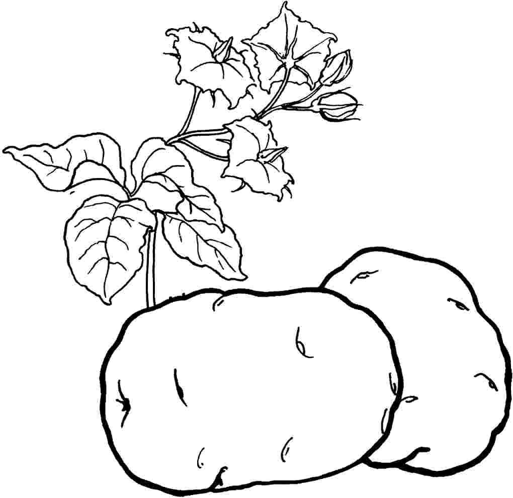 Раскраска картофель