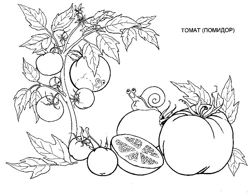 Раскраска томаты