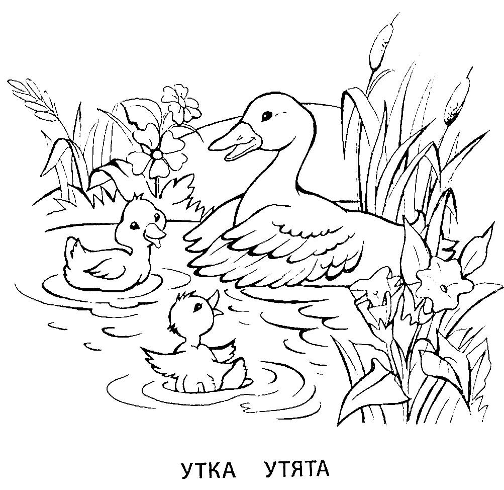 Раскраска утка и утята
