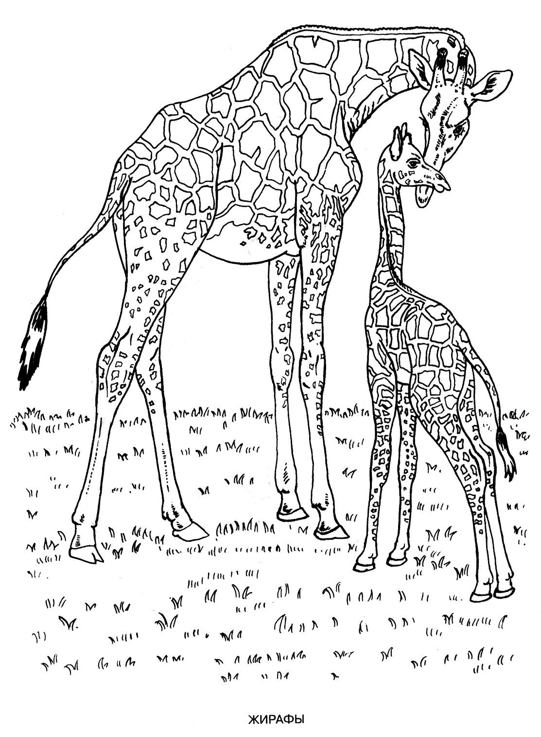 Раскраска маленький жираф с мамой
