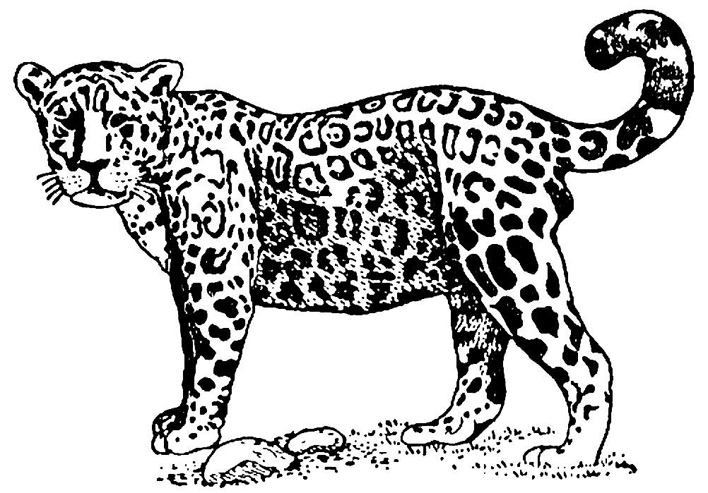 Раскраска взрослый ягуар