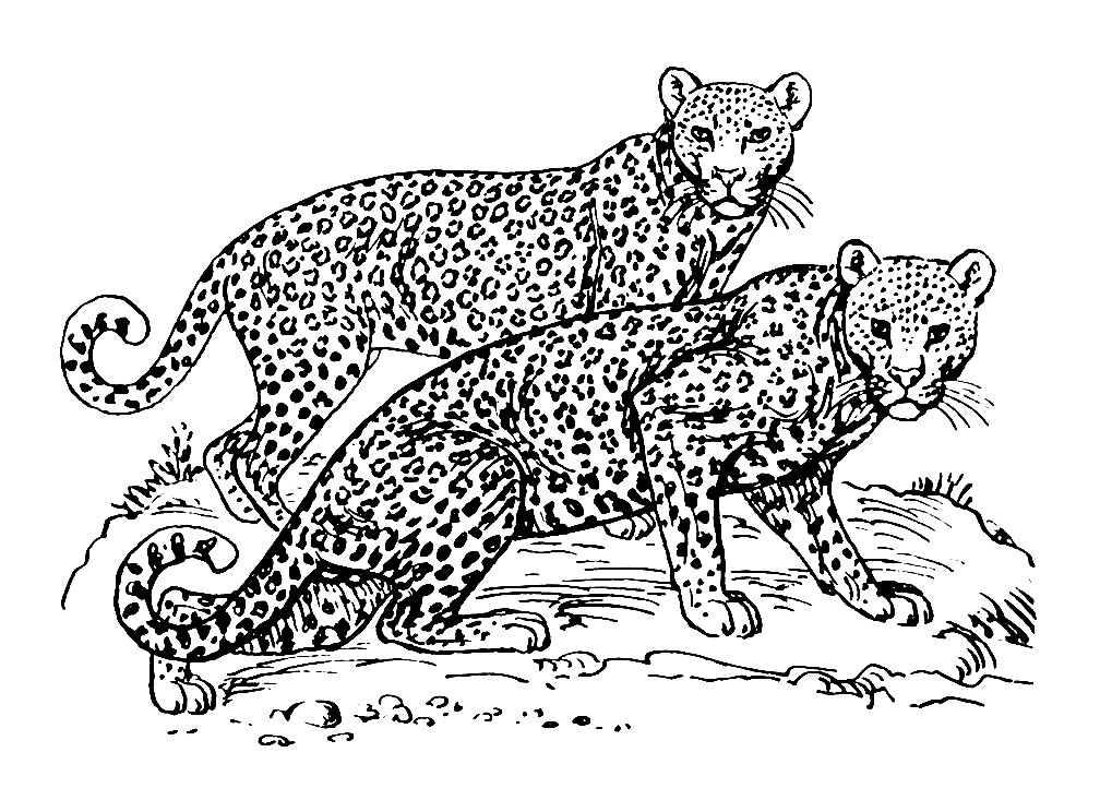 Раскраска леопарды