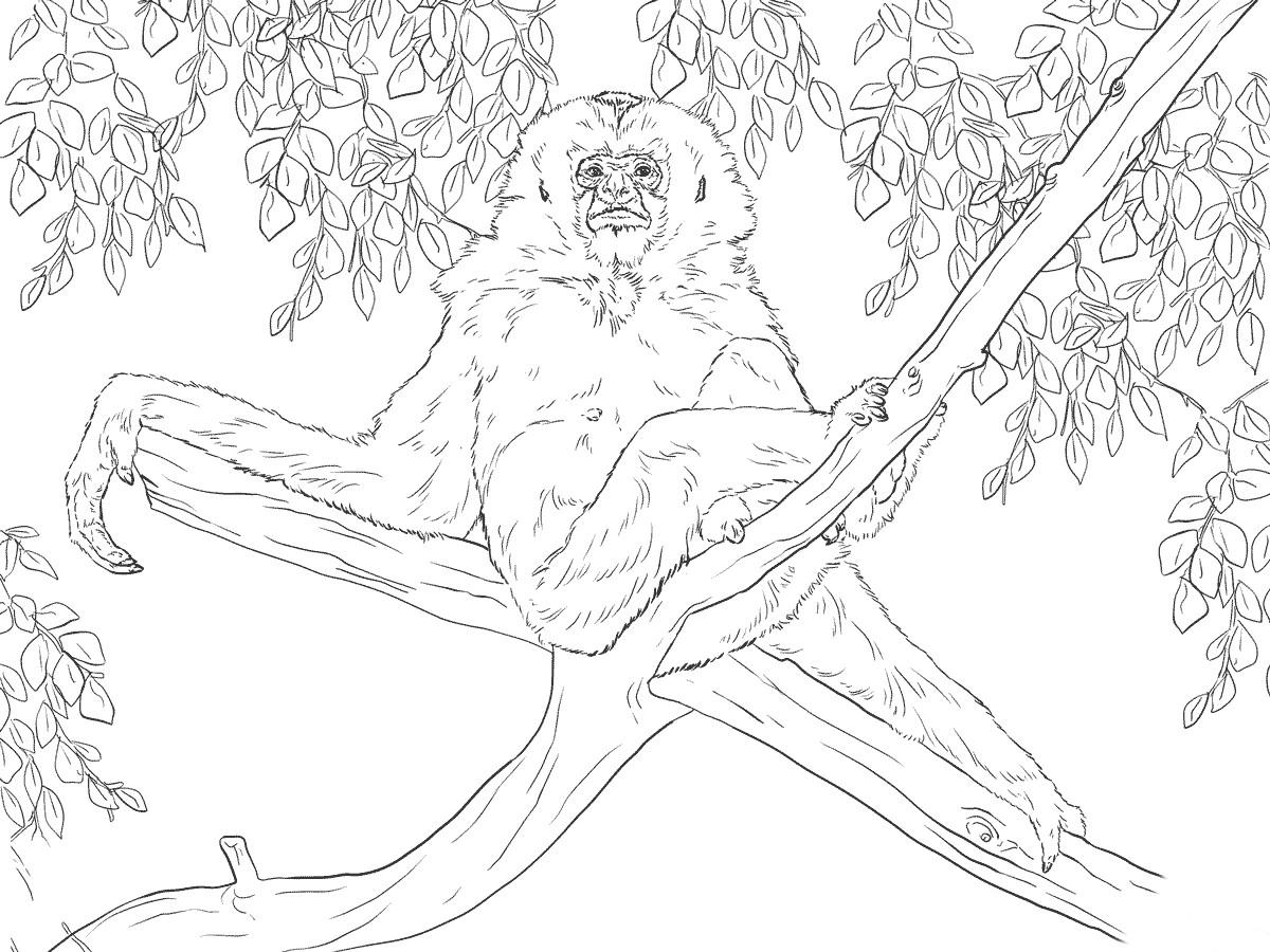 Раскраска гиббон сидит на дереве