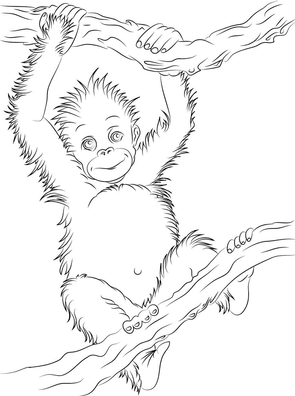 Раскраска малыш орангутанг