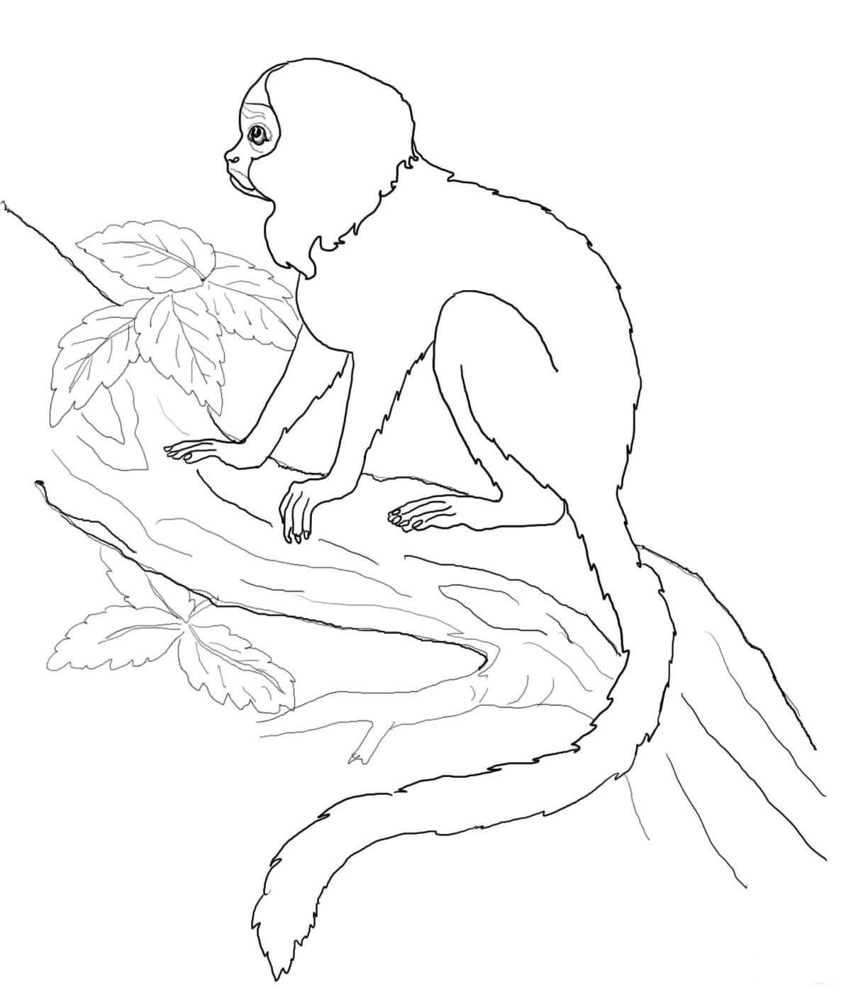 Раскраска тамарин жоффруа