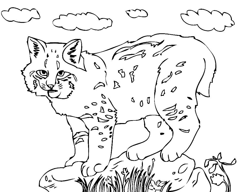 Раскраска bobcat