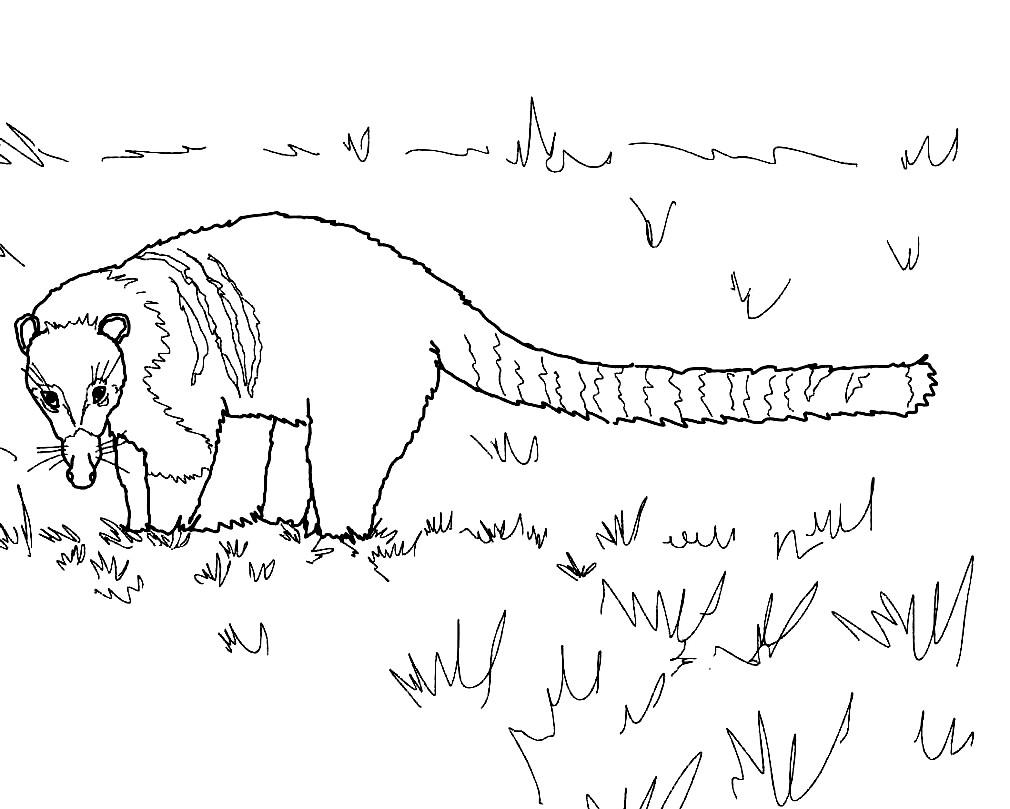 Раскраска коати