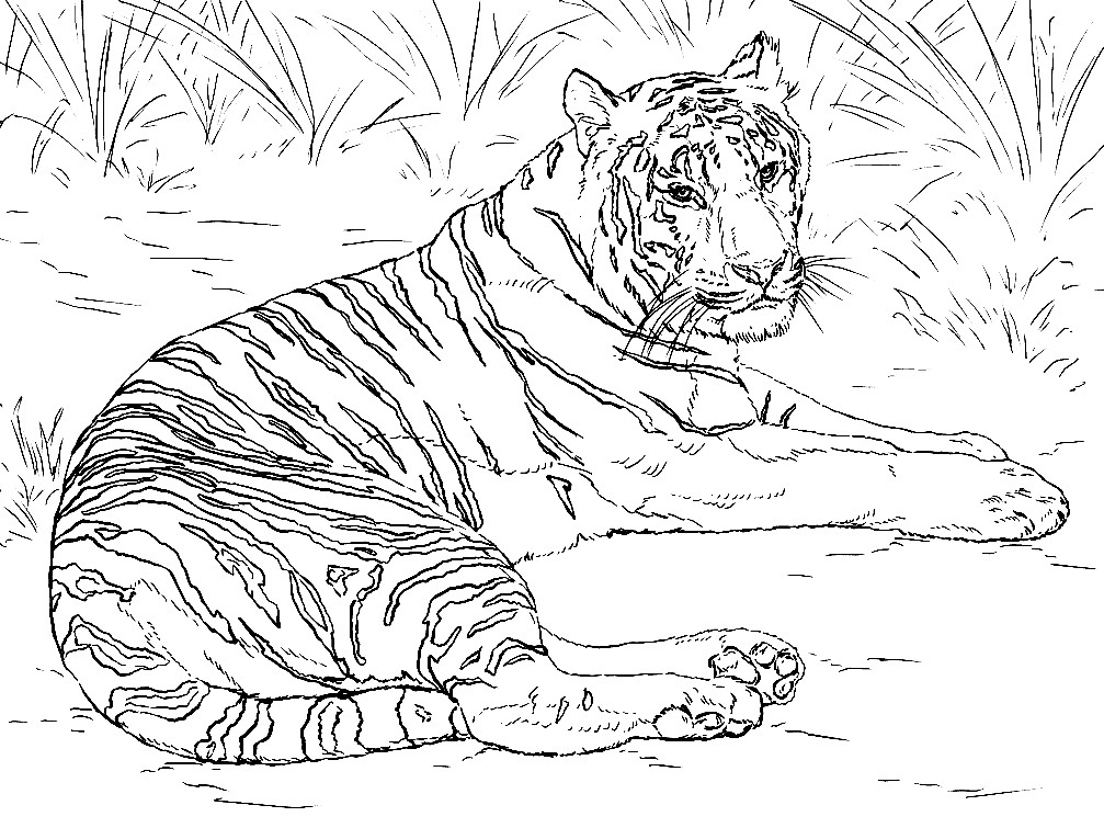 Раскраска Амурский тигр