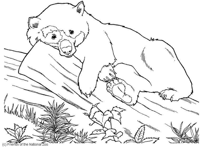 Раскраска очковый медведь